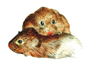 Voles in Love! Illustration by Dugland Stermer for TIME 2008